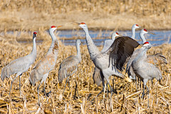 Sandhill cranes posture for top dog in a Kentucky cornfield (sniggie) Tags: sandhillcrane hardincounty gruscanadensis birding kentucky wintermigration birdwatching cornfield marsh bird migration wintergrounds