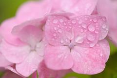 20150609-DS7_2694.jpg (d3_plus) Tags: street plant flower macro nature rain bicycle japan cycling spring nikon scenery waterdrop bokeh outdoor daily rainy bloom  streetphoto  tamron   dailyphoto   raindrop  thesedays tamron90mm pottering               tamronmacro  tamronspaf90mmf28  tamronspaf90mmf28macro11 d700 172e kanagawapref  tamronspaf90mmf28macro nikond700  spaf90mmf28macro11 nikonfxshowcase 172en