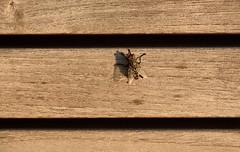 Flyover Fly (HorsePunchKid) Tags: animalia arthropoda diptera insecta thehighline taxonomy:class=insecta taxonomy:kingdom=animalia taxonomy:order=diptera taxonomy:phylum=arthropoda falconeflyover taxonomy:eolid=421 taxonomy:common=truefliesmosquitoesandgnats
