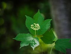 Maple-leaf Viburnum (Acerifolium) (hickamorehackamore) Tags: spring backyard nikon native connecticut wildlife may ct shrub habitat certified nwf 2015 shadeloving acerifolium haddam mapleleafviburnum