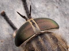 Tabanus autumnalis (f) (mickmassie) Tags: diptera insecta tabanidae gardentq209783
