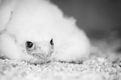 Lone male (reclaimednj) Tags: blackandwhite baby bird monochrome newjersey unitedstates nest fuzzy trix nj raptor falcon downy galloway peregrinefalcon nestling vsco edwinforsythenationalwildliferefuge
