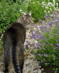 Cat in the Garden (TaraFly) Tags: summer cat garden stones lavender gardenpath sweetalyssum catmint browntabbycat