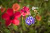 Série Fleur 2015 - 10 (Macsous) Tags: alpes lyon fleur fleurs flower flowers gazon herbe herbes japonais jardin jaune mauvaise rhone solaize tige verdoyant vert