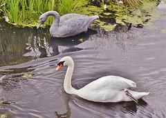 Echoing art (dlanor smada) Tags: water swans sculptures londonwetlandcentre lwc