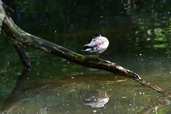 Mallard (kalakeli) Tags: birds wasser mai mallard vgel anasplatyrhynchos waterbirds wasservgel 2015 rur stockente dren