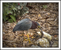 Green Heron with Lunch (Visions by Vincent) Tags: ngc greenheron greatphotographers adifferentpointofview