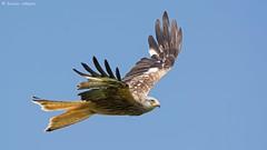 Red Kite (KHR Images) Tags: wild nature sunshine wales flying nikon wildlife raptor birdofprey powys redkite rhayader milvusmilvus 300mmf4 gigrinfarm d7100 bbcwalesnature kevinrobson khrimages