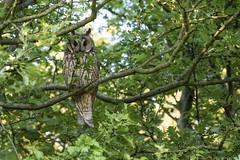 Long-eared owl (kerryn rice) Tags: blue sky sunlight plant tree green bird gold eyes outdoor ear owl longeared