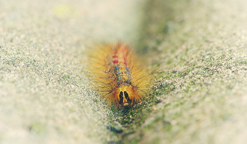 Caterpillar! Lymantria dispar