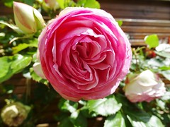 20150613a Rose Pierre de Ronsard (@bodil) Tags: pink flowers france rose fleurs normandie pierrederonsard