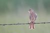 Vesper Sparrow - Montana (Geoff Malosh) Tags: montana unitedstates adult sparrow vesper vespersparrow phillipscounty bowdoinnationalwildliferefuge