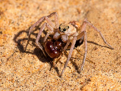 Spider dragging an ant down its hole