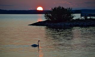 Sunset. Lake Vesijärvi. Whooper Swan.