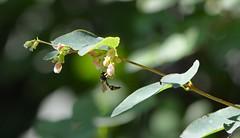 Insekten-Polizei (deta k) Tags: macro fauna flora blumen garten insekten blüten schlupfwespe nikond7100