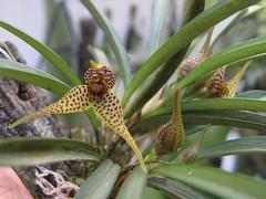 Dryadella sp SRO/SP (Micro-orquídeas Roberto Martins) Tags: de galeria mini sp micro orquídeas venda exposição pleurothallis coleção dryadella permuta orquidáceas microorquídeas robertomicroorquideas robertomicros robertoorquideas srosp