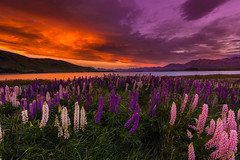 Lake Tekapo Sunset (inkasinclair) Tags: settingsun atmospheric longcloud illuminate glow mountains nature wild landscape d7200 nikon colour water sky sunset island south zealand new newzealand flowers lupins tekapo lake laketekapo