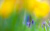 Last spring (Steve-h) Tags: bushypark flowers nature natural pretty natur bokeh blossoms blue yellow green colours colour depthoffield dof haze spring march 2016 park dublin ireland europe digital exposure ef eosr canon camera lens steveh