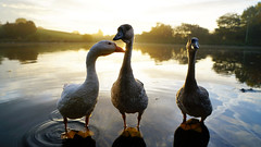 Stand and Deliver (Mark BJ) Tags: daisynook countrypark crimelake failsworth oldham manchester uk sunrise domesticgoose anseranserdomesticus geese feathers