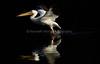 LakeChabot_123116_060 (kwongphotography) Tags: lakechabot castrovalley birds calif americanwhitepelican pelican wildlifephotography nature naturephotography wildlife birdsinflight unitedstates
