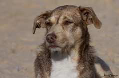 Dog portrait at the beach (JOAO DE BARROS) Tags: animal dog portrait joão barros
