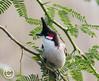 Red-whiskered Bulbul (mshubhajyoti) Tags: small bird wildlife fantastic redwhiskered crimson bulbul himalaya india wow beautifull birdsiitk