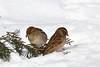 Pair of house sparrows (jlcummins - Washington State) Tags: housesparrow yardbird home winter nature washingtonstate yakimacounty canon tamronsp150600mmf563divcusd snow