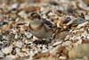 Snow Bunting (roger_forster) Tags: plectrophenaxnivalis snowbunting titchfieldhaven hillhead foreshore shingle wild bird feeding solent