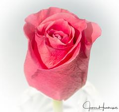 Fragility of your petals (jhambright52) Tags: thebeautyofarose macrorose salmonrose macroflowers