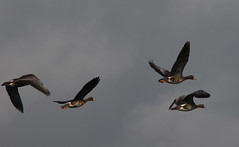 Greater White-fronted Geese (dmoon10751) Tags: birds riogrande gwfg