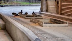 Here these smart ducks enjoy some of the spilled grain in the truck unloading area. DSC06312-01 (James Frazier (Nashville TN)) Tags: jack daniels distillery lynchburg tn tennessee