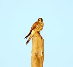 Halcón (cernícalo) (Andrés) Tags: halcón falcon hawk raptor rapaz canon7dmarkii canon100400mm girona santtomasdelluvia emporda wildlife