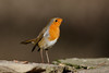 _F0A8359.jpg (Kico Lopez) Tags: erithacusrubecula galicia lugo miño petirrojo spain aves birds rio