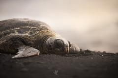 Beauty Sleep (santosh_shanmuga) Tags: green sea turtle tortoise reptile chelonian shell seaturtle animal nature wild wildlife outdoor outdoors herp herpetology nikon d810 80200mm hi hawaii big island thebigisland volcanic sand beach snooze sleep rest bask black punaluu