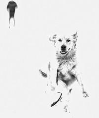 Under Attack overexposed (Danny VB) Tags: dog leash attack underattack winter snow chien laisse dannyboy gaspesie quebec canada canon eos 6d ef70200mmf28lisiiusm christmas noel navidad running mono monochrome blackandwhite noitetblanc overexposed noiretblanc
