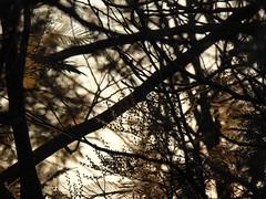 mimosa al tramonto (fotomie2009) Tags: acacia dealbata mimosa rami branches winter backlit controluce