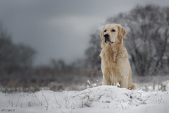 Winter (clé manuel) Tags: dog winter snow golden retriever hund nature labrador sony tamron alpha cold schnee white weiser bokeh