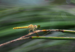 The feeling of speed_c (gnarlydog) Tags: blurred bokeh diaplan100mmf28 australia insect dragonfly shallowdepthoffield subjectisolation nature manualfocus refittedlens weird speed projectionlens