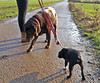 Kim- Julie-3 (Josef17) Tags: bostonterrier hund labrador feldweg ausflug