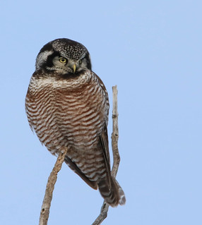 Chouette Epervière - Surnia ulula - Northern Hawk Owl
