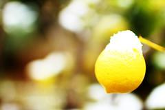iced lemon (Katrinitsa) Tags: snow tree alone iced snowy lemon naked yellow colors winter wintercolors canon canoneosrebelt3i ef35mmf14lusm zoom focus bokeh fruit nature landscape beauty amazing awesome natural january athens greece glyfada dreamy branch ice loneliness vibrand vivid bright