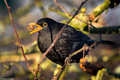 Miam ! (Quentin Douchet) Tags: commonblackbird faune nature animal bird blackbird fauna merle merlenoir oiseau turdusmerula