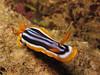 Pajama slug (Lerotic) Tags: uw underwater egypt redsea scuba diving