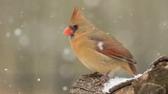 She's Posing in the Snow (Ken Krach Photography) Tags: cardinal