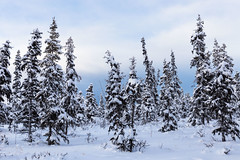 Spruce trees in the snow (spwasilla) Tags: winter alaska spruce trees