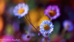 Spring diversity (frederic.gombert) Tags: flower flowers red pink white color colored colors daisy sun sunlight garden plant macro nikon d810