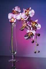 Faux Orchids (RGainor) Tags: faux orchids flowers silkflowers glass vase glassvase gels grids diffusion diffusionpanel tabletop
