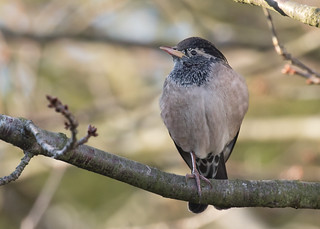 Rose-coloured Starling - Pastor roseus