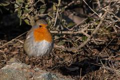 European Robin (keynowski) Tags: europeanrobin kızılgerdan erithacusrubecula nature ngc animalplanet animal bird canon70d canonef400mmf56lusm