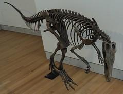 Coelophysis Bauri / Theropod / Saurischian Dinosaur .... Dinosaurs Exhibit / Royal Ontario Museum (ROM) .... Toronto, Ontario (Greg's Southern Ontario (catching Up Slowly)) Tags: museum dinosaur rom royalontariomuseum dinosaurbones theropod latetriassic coelophysisbauri saurischiandinosaur 205millionyearsold dinosaurexhibitrom